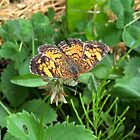 Butterfly on Clover 2 by Martha Medford