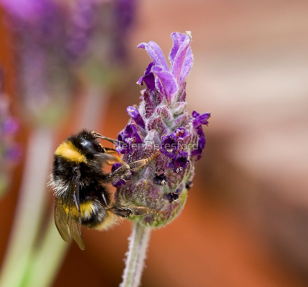 Bee on lavender by HelenBeresford
