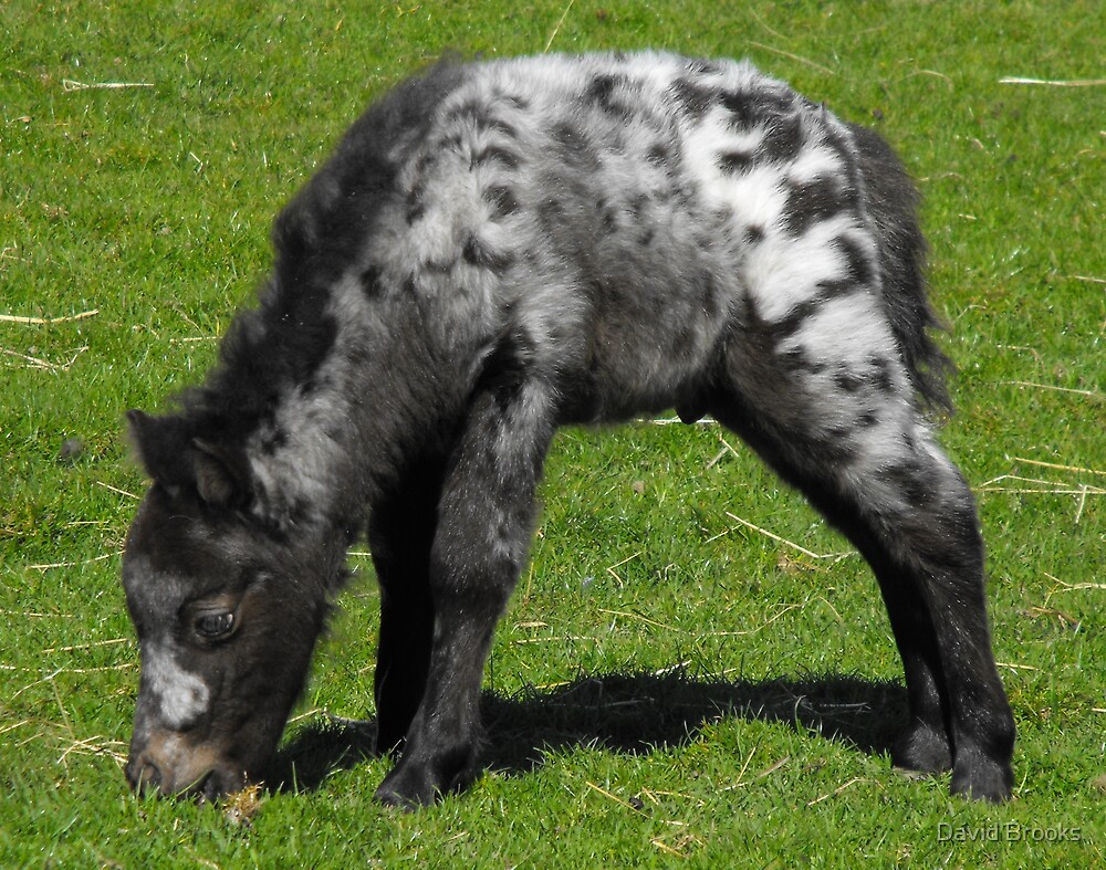 Miniature Shetland Foal by David Brooks