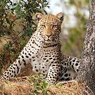 Male Leopard - Okavango Delta, Botswana by Sharon Bishop