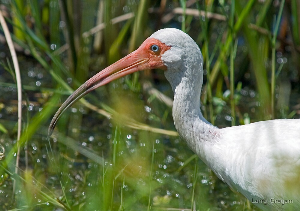 White Ibis head shot by Larry  Grayam