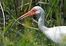 White Ibis head shot by Larry  Grayam