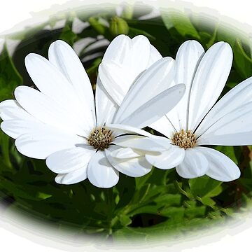 White Daisies.........Lyme Dorset UK by lynn45