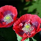 Twin Poppies in the garden... Lyme Dorset UK by lynn carter