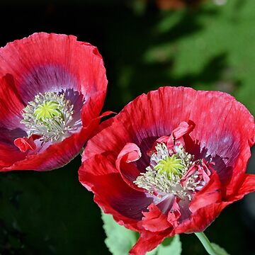 Twin Poppies in the garden... Lyme Dorset UK by lynn45