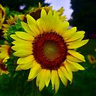 Sunflower after a summer rain by Brad Chambers