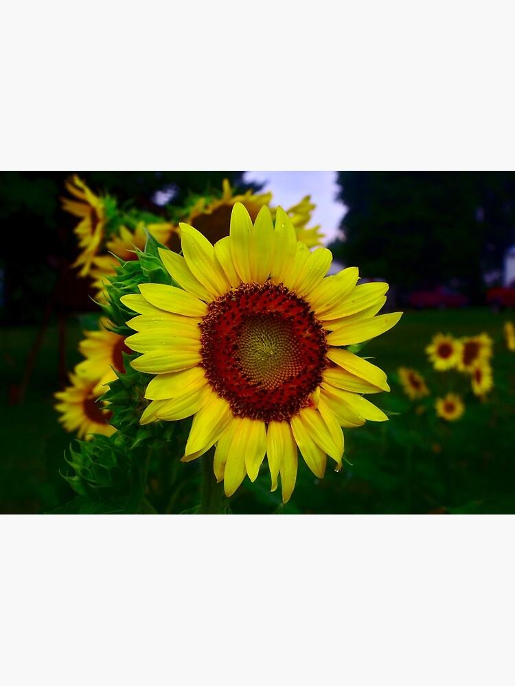 Sunflower after a summer rain by bchambers1