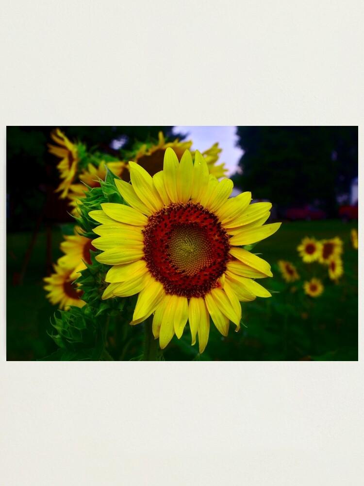 Alternate view of Sunflower after a summer rain Photographic Print