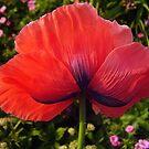 Poppy  by tonymm6491