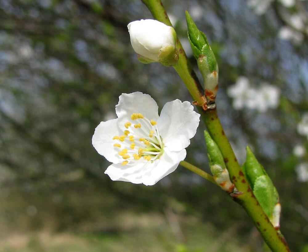 White blossom by Caroline Anderson