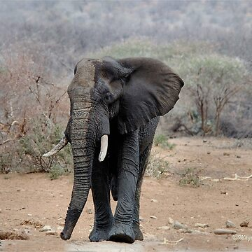 THE LONELY BUL -  THE AFRICAN ELEPHANT – Loxodonta africana by mags