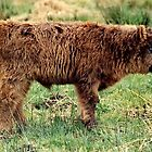 Highland Calf by AnnDixon