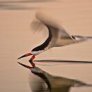 Black Skimmer Solo by David Orias