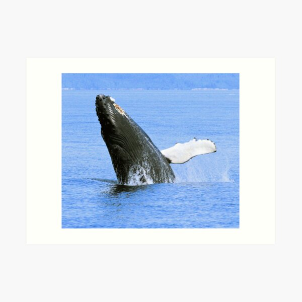 Baby Humpback Whale Breaching Art Print