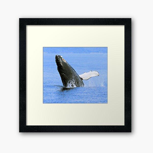 Baby Humpback Whale Breaching Framed Art Print