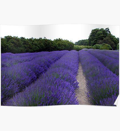 Lavender Fields Forever ~ Sequim, Washington Poster