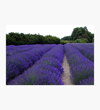 Lavender Fields Forever ~ Sequim, Washington Photographic Print