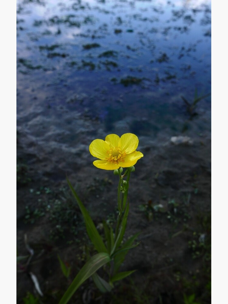 Greater Spearwort (Ranunculus lingua) by IOMWildFlowers