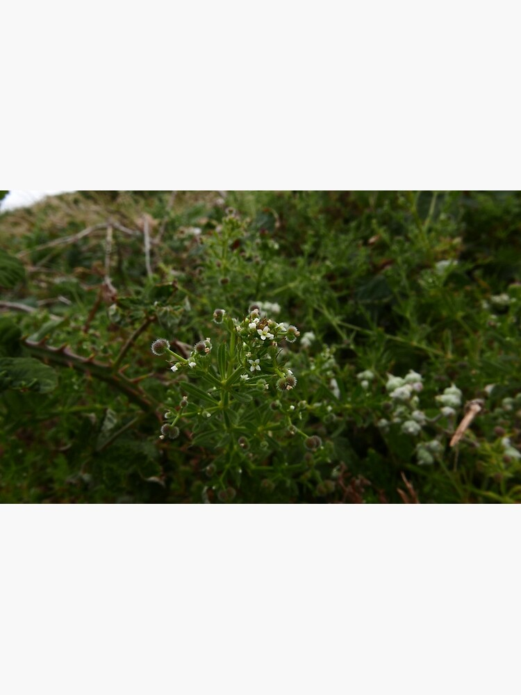 Cleavers (Galium aparine) by IOMWildFlowers