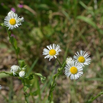 Collection of Common Daisies (Bellis perennis) by Gold-Coin