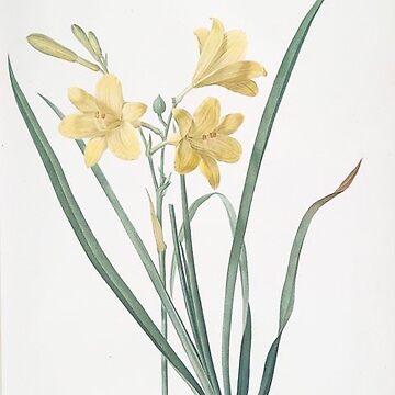 Vintage Plants - Hemerocallis flava by delennjadzia