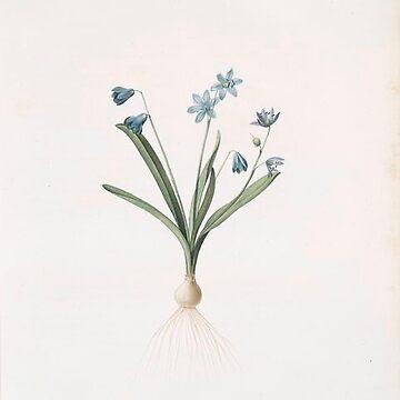 Vintage Plants - Scilla amoena by delennjadzia
