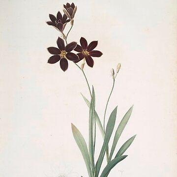 Vintage Plants - Ixia grandiflora by delennjadzia