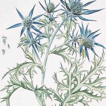 Vintage Plants - Eryngium montanum by delennjadzia