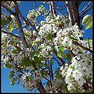 FloweringTrees: Chokecherry by JMerriman