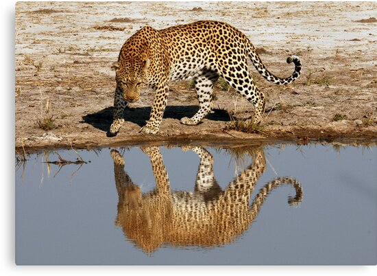 Leopard Reflection - Okavango Delta, Botswana by Sharon Bishop