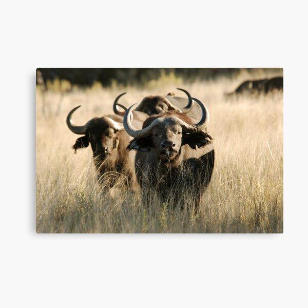 Buffalo - Okavango Delta, Botswana Canvas Print