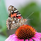 She's a Painted Lady (Vanessa Cardui on Echinacea) by hummingbirds
