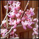 Flowering Trees: Eastern Redbud by JMerriman