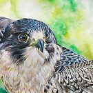 Peregrine Falcon Portrait by Kyra C. Kalageorgi
