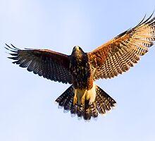 071409 Juvenile Harris Hawk by Marvin Collins