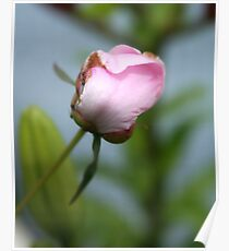 puny pink peony Poster