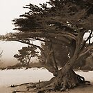 Cypress in the Fog by CherylBee
