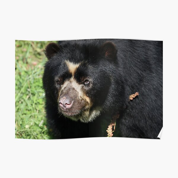 Male Spectacled Bear Poster