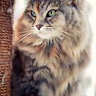 Portrait of Cleopatra, a Siberian female cat by Giuseppe 23 Esposito