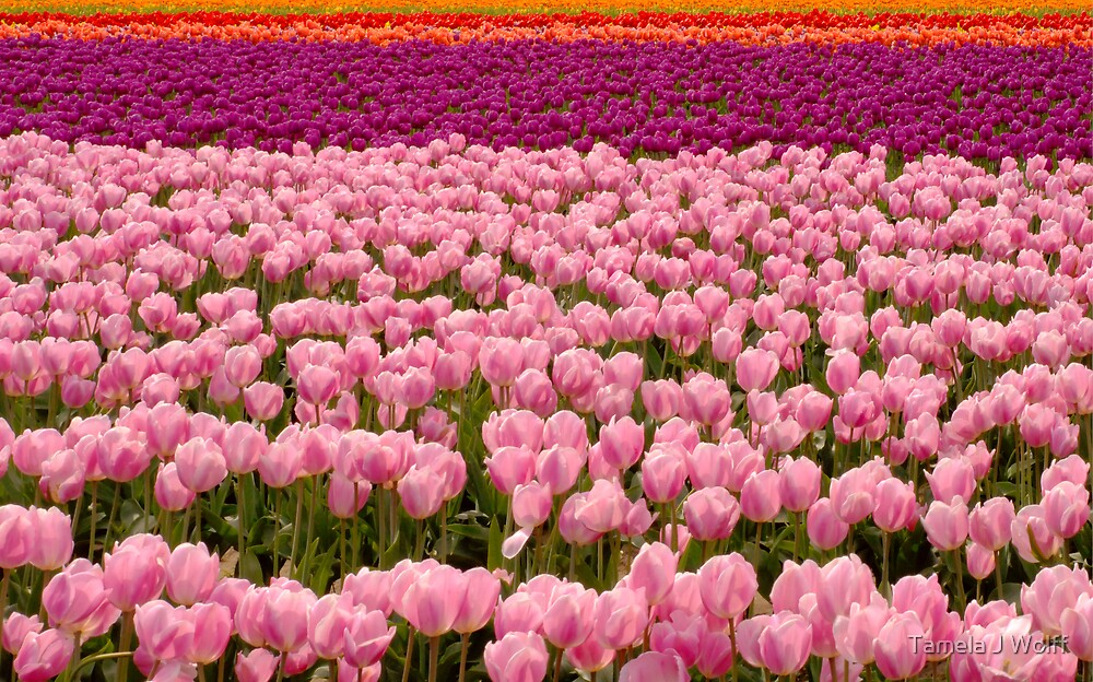 The Beauty of Tulips by Tamela J Wolff