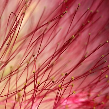 Pink mimosa flower detail - 2018 by gwennpaints