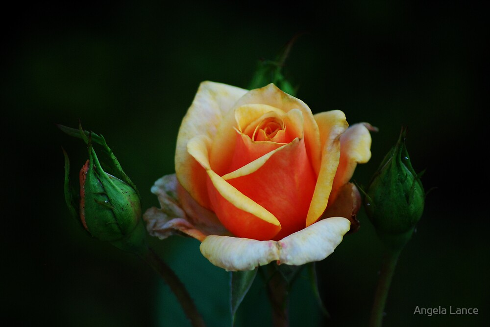 Peach Rose Buds.... by Angela Lance