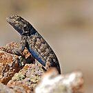 Blue Bellied Lizard by Jared Manninen
