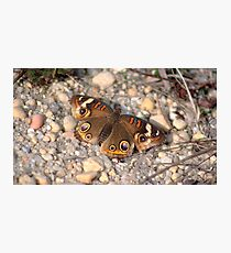 Common Buckeye on the Rocks Photographic Print
