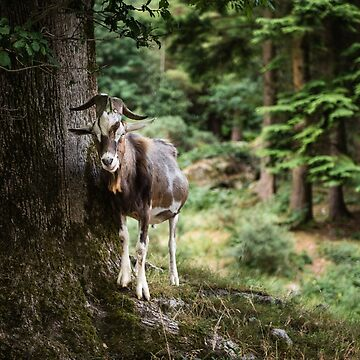 Mountain Goat by shaymurphy