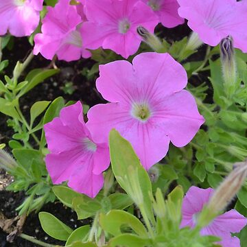 Pink Petunias by Gold-Coin