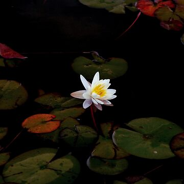 White water lily in a black pond by SiliconValleyUS