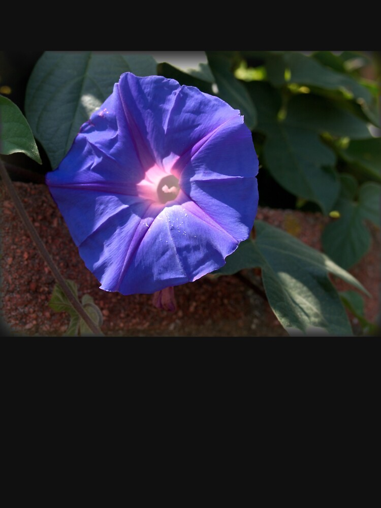Morning Glory from A Gardener's Notebook by douglasewelch