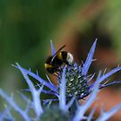 Bee on a thistle 3  by Mike Butchart