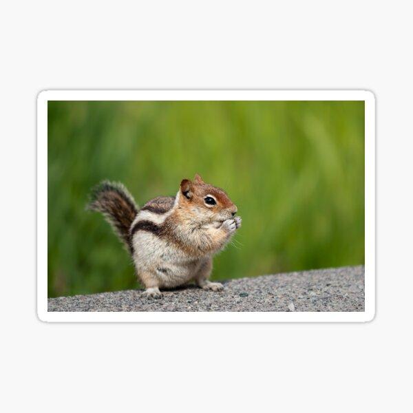Golden-mantled Squirrel Sticker